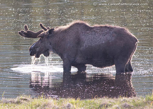 Alaska Moose - Canon 5D Mark III camera - 400mm f5.6 lens