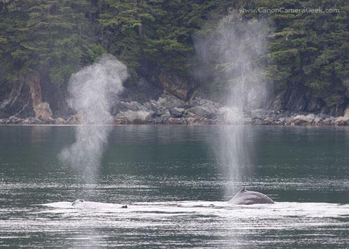Alaska Humpback Whales - Double Spout
