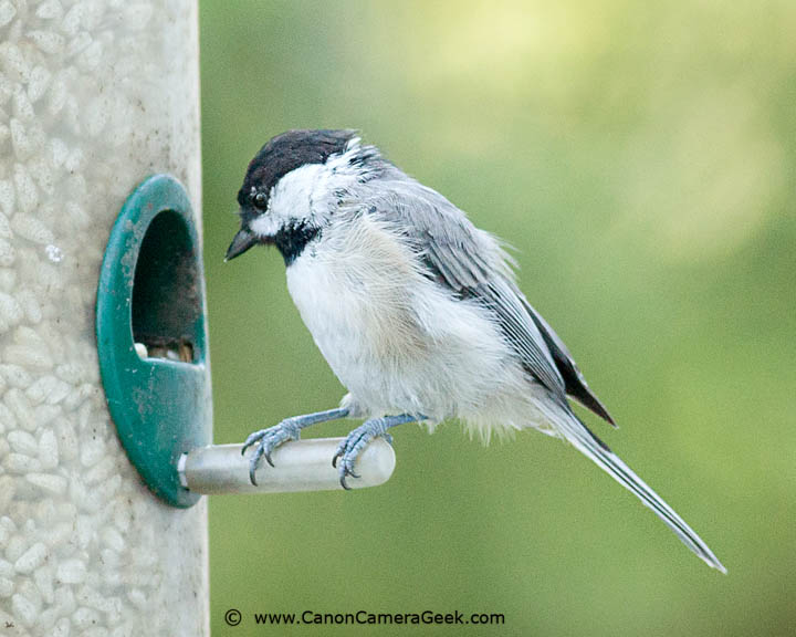 Black-capped Chickadee photographed with the Canon 400 f5.6 telephoto lens