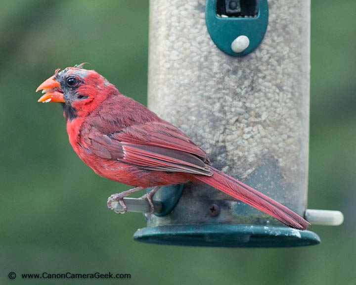 Photo of a Cardinal taken with the Canon 400mm f5.6 Lens