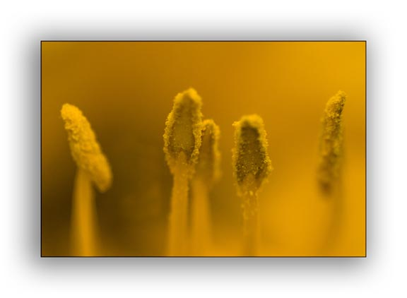 Macro photograph of yellow anthers taken with a traditional macro lens.