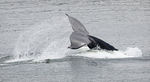 Whale Flukes - dripping water - near Glacier Bay, Alaska
