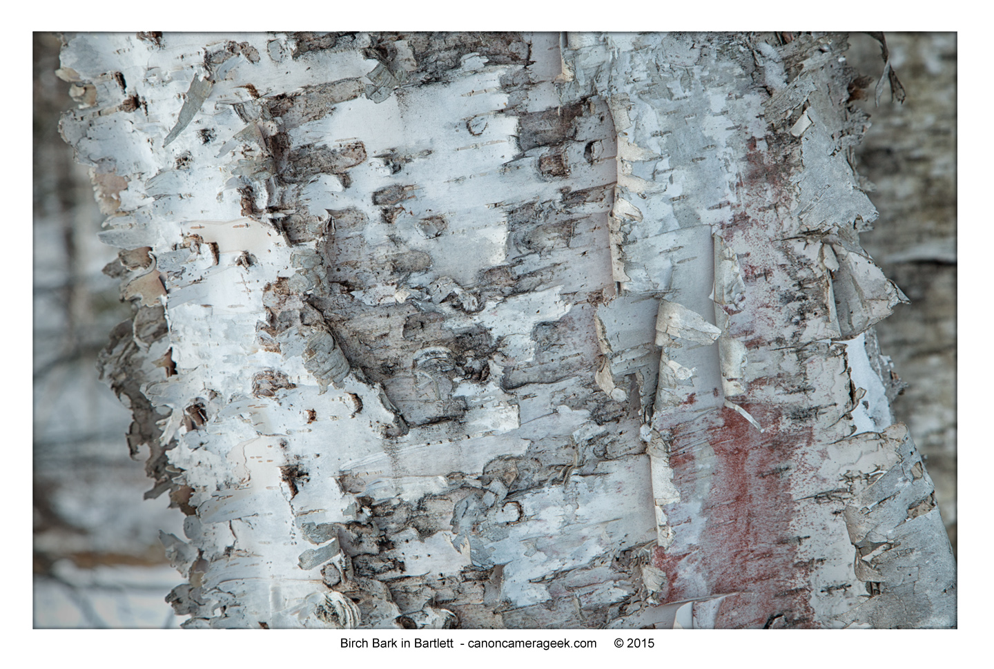 Birch tree bark-close-up Canon 5D Mark III