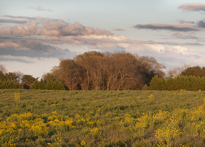 Flowering field at sunset