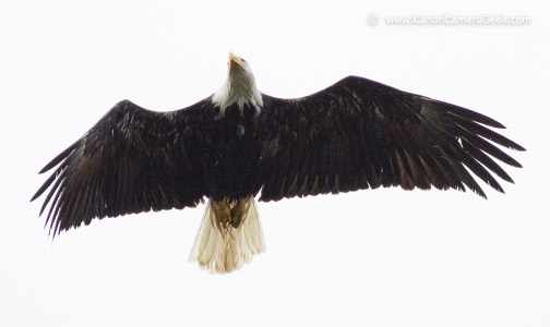 Canon 5d Mark III With 400mm f/5.6 - photo of Bald Eagle