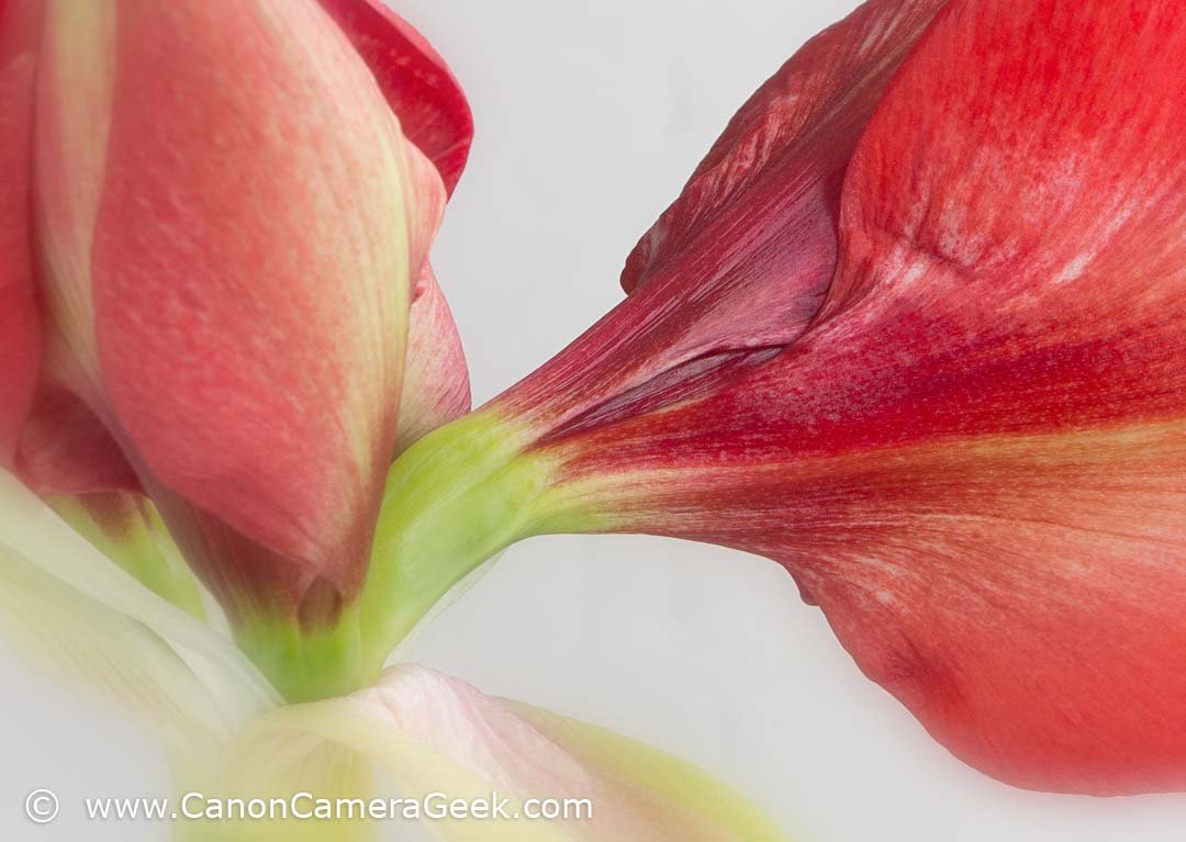 Close-up of Amaryllis plant taken with EOS 70D