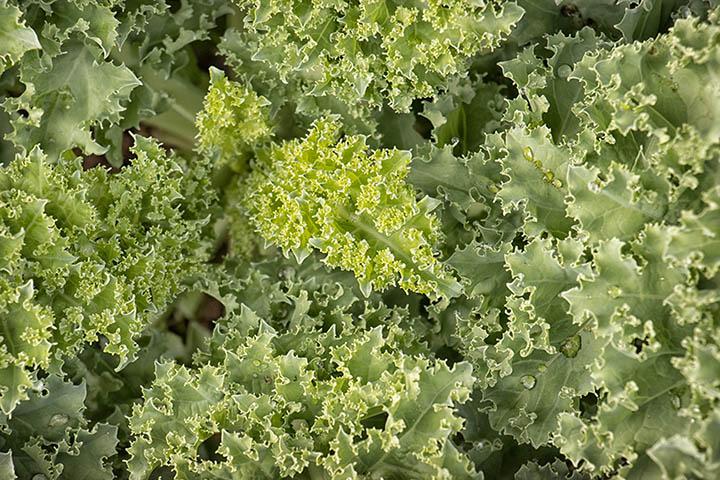 kale close-up 90D sample