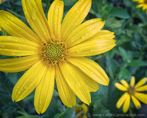 Macro Photo of yellow flower taken with G1X Mark II Camera