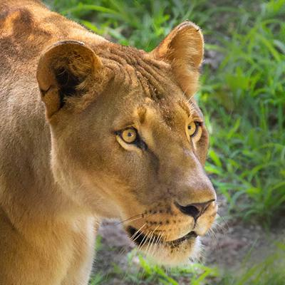 Female Lion<br>Canon 5D Mark III